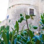 Les Pouilles-Olives
